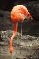 Portrait of a Flamingo by sican