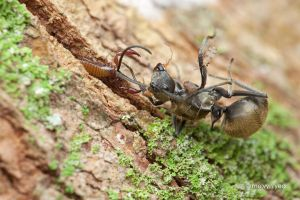 Pseudoscorpion with ant prey by melvynyeo