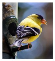 American Goldfinch at the Tube by richardcgreen