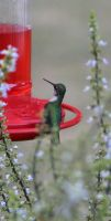 Hummingbird-1 by bluesman219