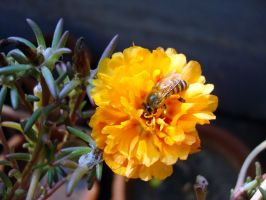 bee on a yellow flower by ss03101991