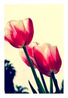 Little Pink Tulips by CaseyAdamF