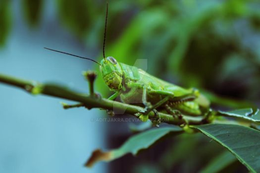 Grasshopper by Aditjakra