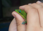 another Madagascar gold dust day gecko by unbridledmuse