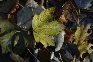 Autumn leaves Herbstblaetter by archaeopteryx-stocks