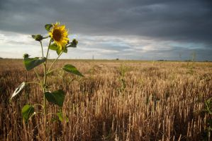 Tournesol by Anupthra