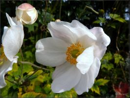 Japanese Anemones white 2 by Lupsiberg