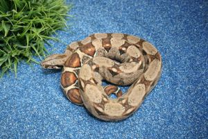 Red Tail Boa by boakid