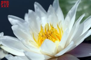 Lotus opening by AndreiPavel