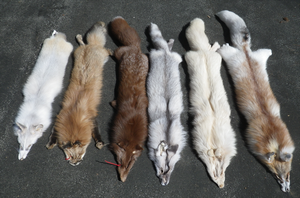Foxes 3.31.2014 by TabbyFoxTaxidermy