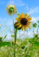 Sunflower With Bee Fly by FallOut99