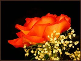 RED ORANGE ROSE by THOM-B-FOTO