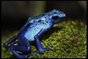 Blue Poison Frog 1 by Vamppy