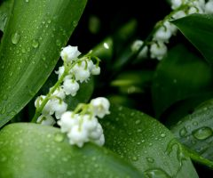 Lily of the valley by Yahira87