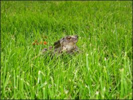 Frog in my garden by Grimmjow89
