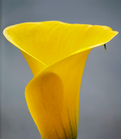 Callalily by technogeek11