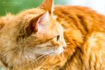 Orange Cat II by MichaelNN