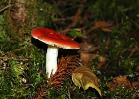fungus 17 by LucieG-Stock