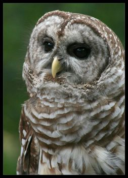The Barred Owl by ladynightseduction