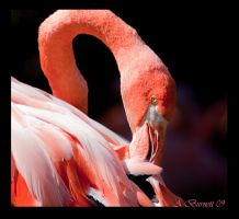 Flamingo by kittykitty5150
