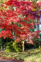 Generous Red Tree by Pierre-Lagarde