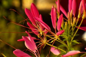Spider Flower by PamplemousseCeil