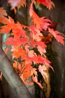 red trees detail by SLHudgensPhoto