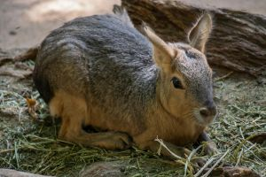 Patagonian Hare by SkyKatay