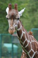 Reticulated Giraffe by Parides