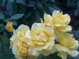 Yellow Roses... by AquaMysteria
