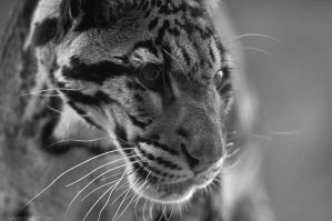 Clouded Leopard 0848 by robbobert