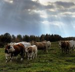 Cows skyfall by msun