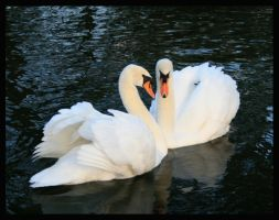 Swan Love by Deliciaa