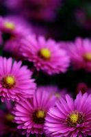 Aster by sourpepper