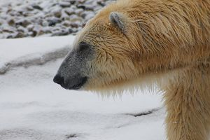 Polar Bear 2 by S-H-Photography