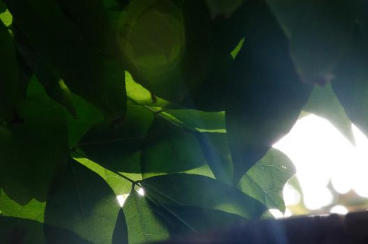 Green Leaves in the Sun by klopez3