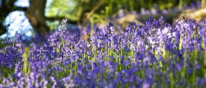 Bluebells by DL-Photography