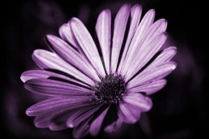 Purple monochrome Flower by houstonryan
