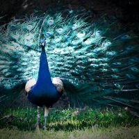 Peacock by Frenchtown