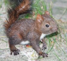 Young squirrel III by starykocur