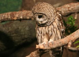 Barred Owl by UndeterminedBreed
