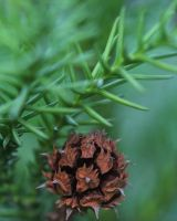 Baby pine cone. by wfpronge