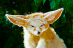 Fennec Fox by justinlavelle