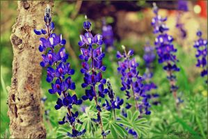 Lupinus all around by ShlomitMessica