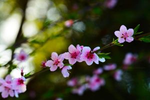 Peach flowers by fotografka
