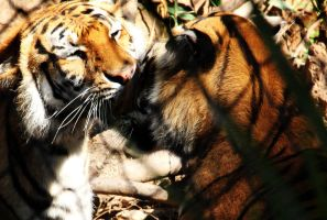 Tiger love by deliquescing