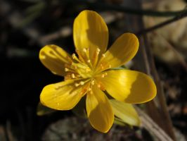 Winter Aconite 3 by wuestenbrand