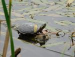 Turtle Sunning by Jyl22075