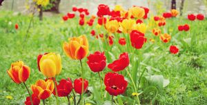 Tulips by propan3