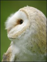 barn owl by RichardRobert